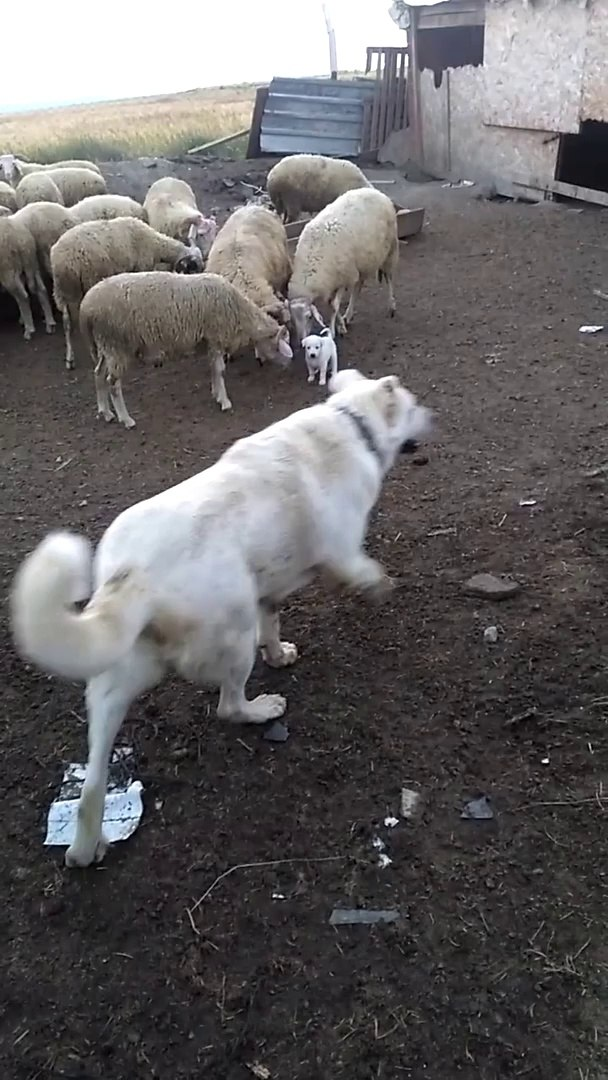 AKBAS COBAN KOPEGi YAVRULARI ve KOYUN  - AKBASH SHEPHERD DOG PUPPiES and SHEEP