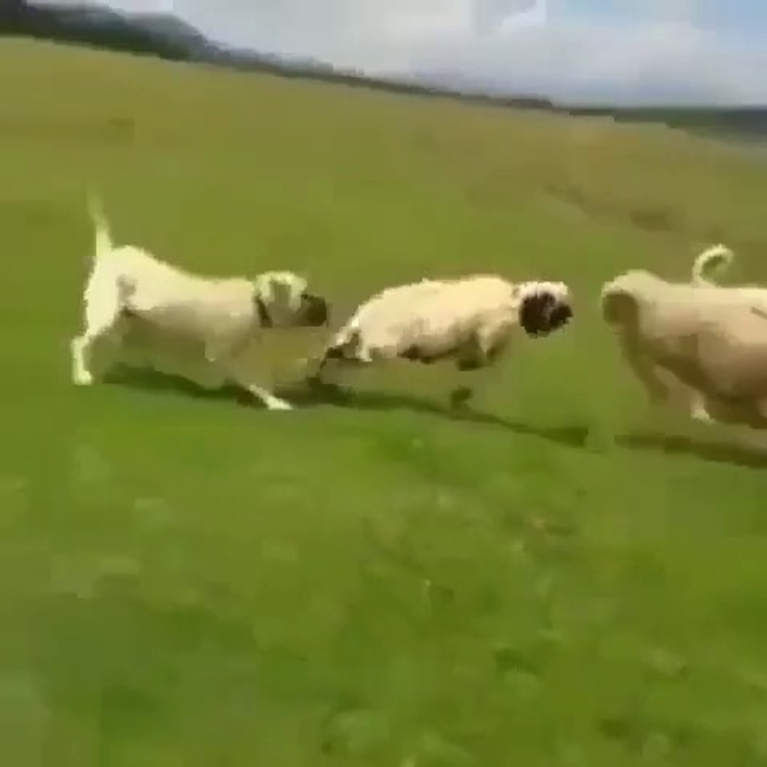 COBAN KOPEGi KOC VS AYIRMA - SHEPHERD DOG and RAM SEPARATiNG the FiGHT