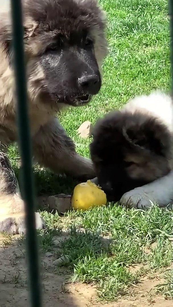 KAFKAS COBAN KOPEGi YAVRULARINA KAHVALTIDA ELMA - CAUCASiAN SHEPHERD DOG PUPPiES EAT APPLE