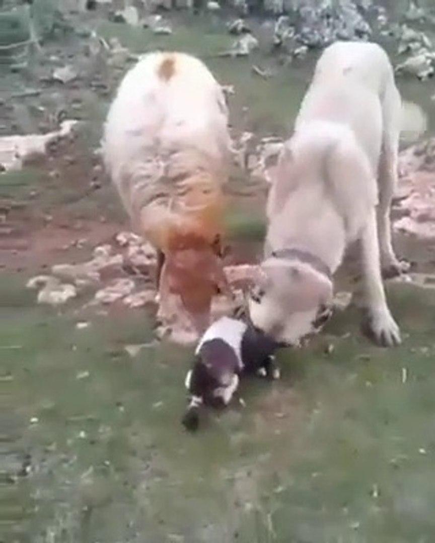 YENi DOGAN KUZUYA KANGAL KOPEGiNiN SEVGiSi - KANGAL SHEPHERD DOG ang SHEEP PUPPY