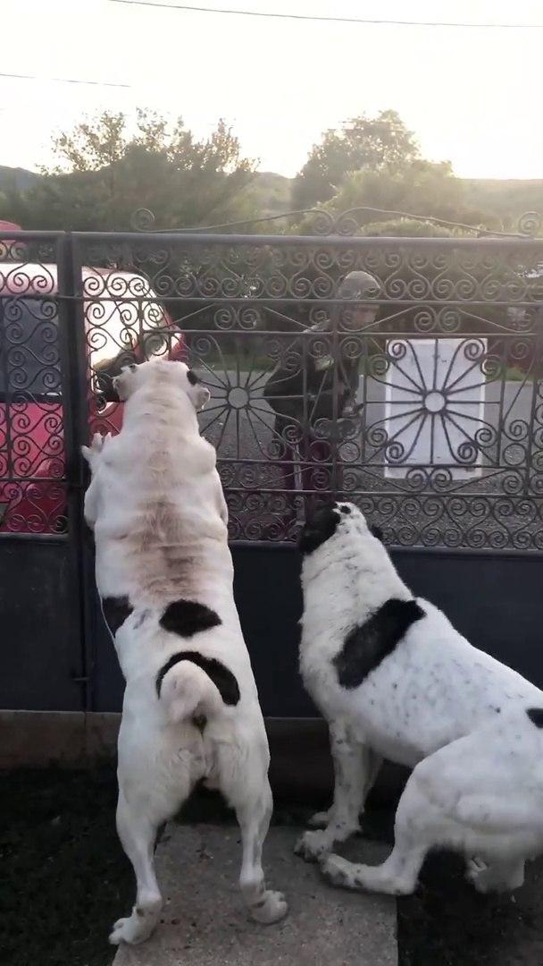 ALABAY COBAN KOPEKLERiNi DELiRTMEK - CRAZY ALABAi SHEPHERD DOGS