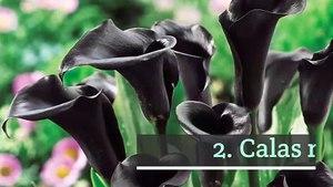 10 plantas con flor oscura o negra