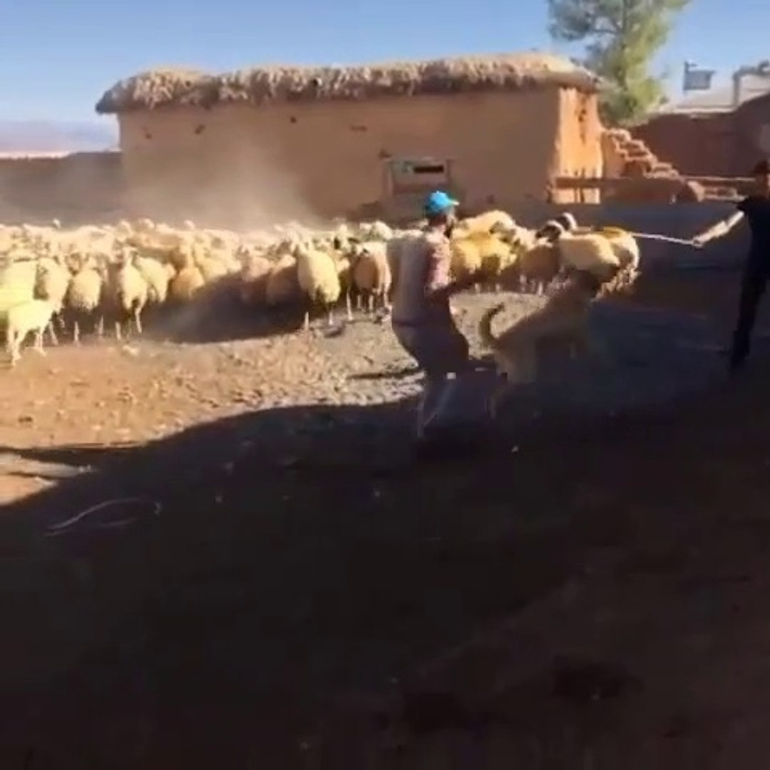 COBAN KOPEGiNi ADAMCI YAPMA DERSLERi - ANGRY ANATOLiAN SHEPHERD DOG