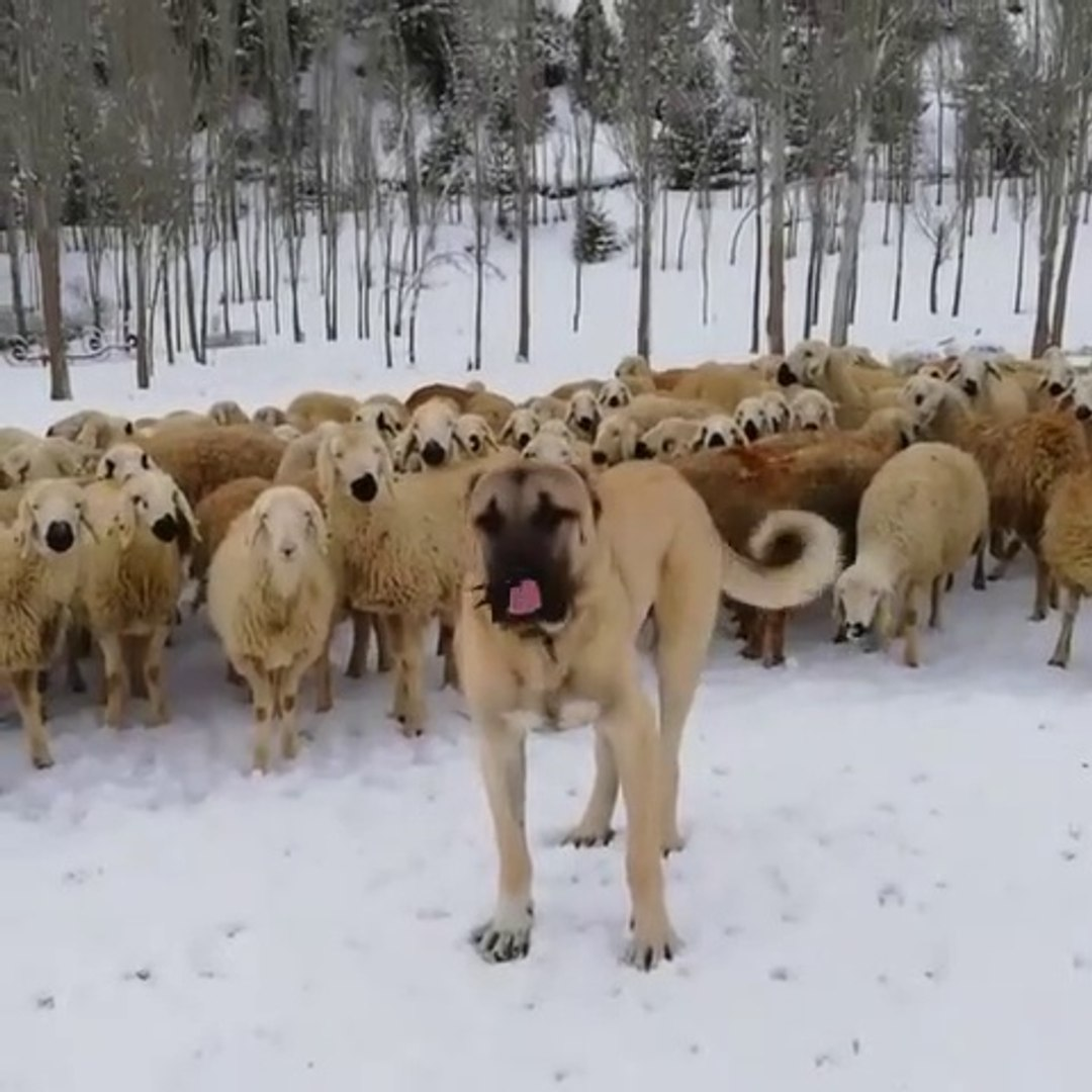SiVAS KANGAL KOPEGi ve KOYUN GOREVi - KANGAL DOG and MiSSiON SHEEP