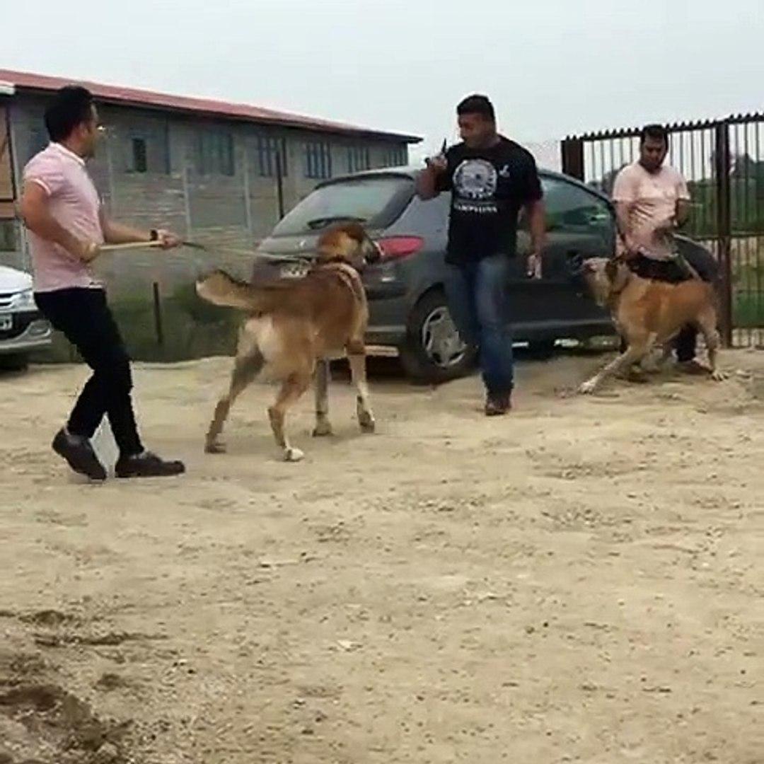 iRAN COBAN KOPEKLERi ve SAHİPLERi - PERSiAN SHEPHERD DOGS VS