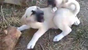 COBAN KOPEGi YAVRULARININ SABAH Ki SEViMLi HALLERi - CUTE ANATOLiAN SHEPHERD DOG PUPPiES