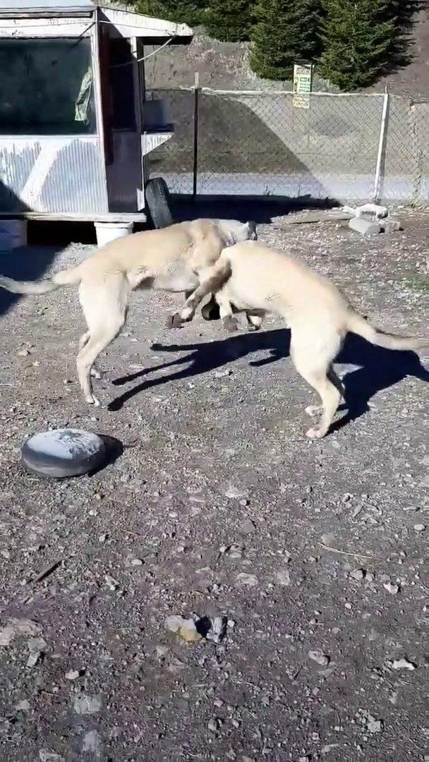 COBAN KOPEKLERiNiN HEM SERT HEM SEViMLi OYUNLARI - SHEOHERD DOG PLAY a GAME