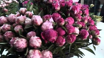 Pivoine : la plus belle des fleurs de mai -  Reportage TL7 - TL7, Télévision loire 7
