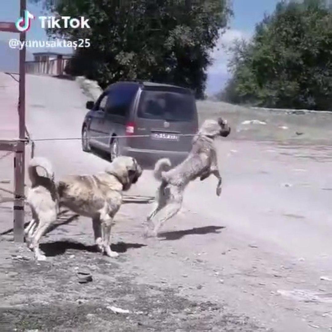 ANADOLU COBAN KOPEKLERi YOL ASAYiS - ANATOLiAN SHEPHERD DOG