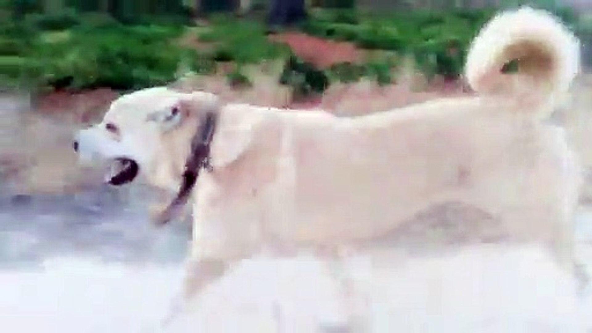 ANADOLU COBAN KOPEGiNE SAGLAM SPOR - ANATOLiAN SHEPHERD DOG EXERCiSE