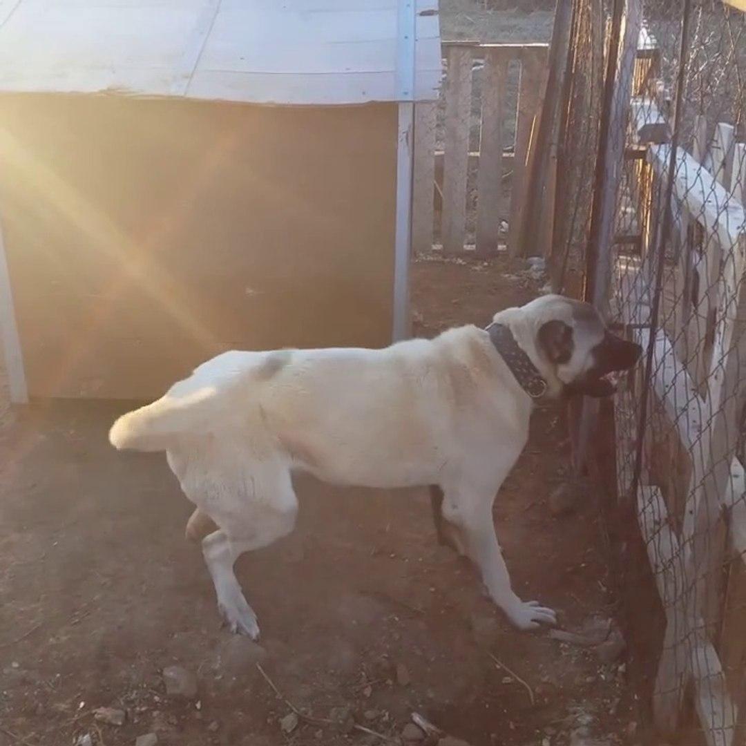 ROTWEiLLER KANGAL ATISMASI - KANGAL DOG VS ROTTWEiLLER DOG