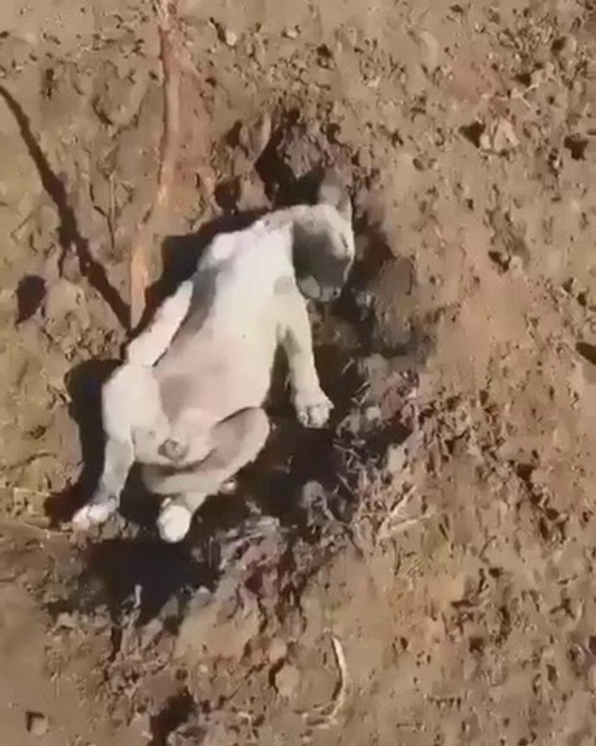 COBAN KOPEGi YAVRUSU YORGUN DUSMUS - ANATOLiAN SHEPHERD DOG PUPPY
