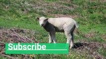 Quiet animal sheep #sheep