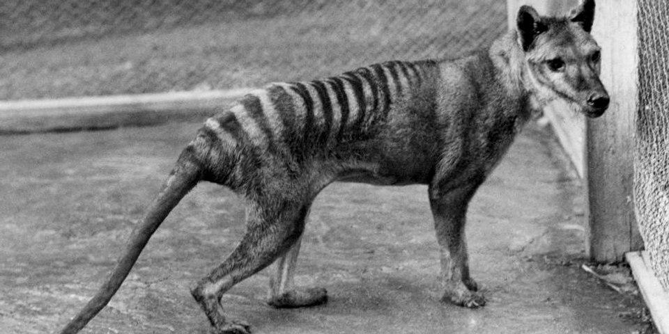 Ultimo Testigo: Este es 'Benjamín', el último tigre de Tasmania, paseando antes de que se extinguiese la especie