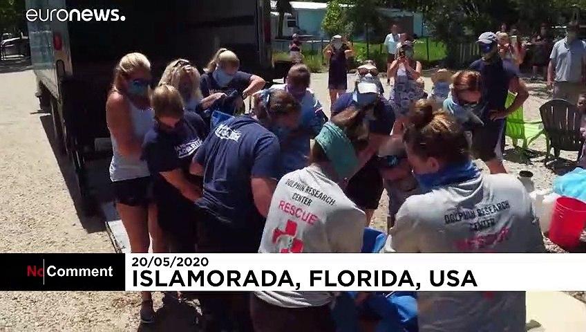 İyileşen deniz inekleri Florida'da yeniden sulara bırakıldı