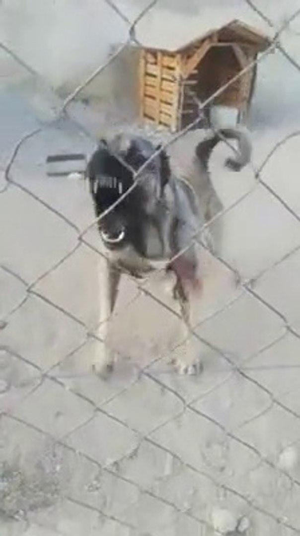 FULL ADAMCI ANADOLU COBAN KOPEGi - VERY ANGRY ANATOLiAN SHEPHERD DOG