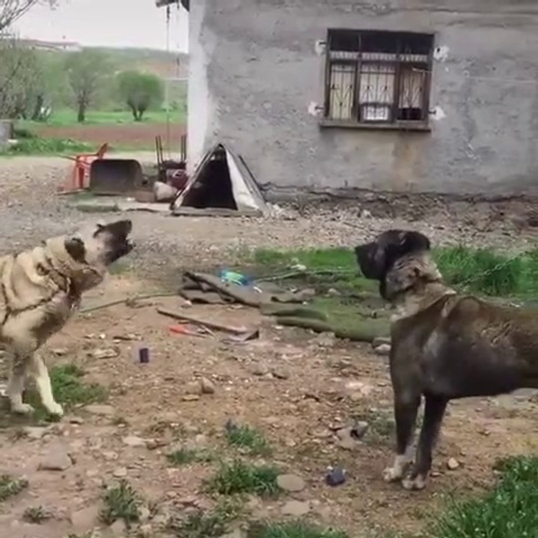 ESKi DAMAR KANGAL  KOPEKLERi ATISMA - KANGAL SHEPHERD DOG VS