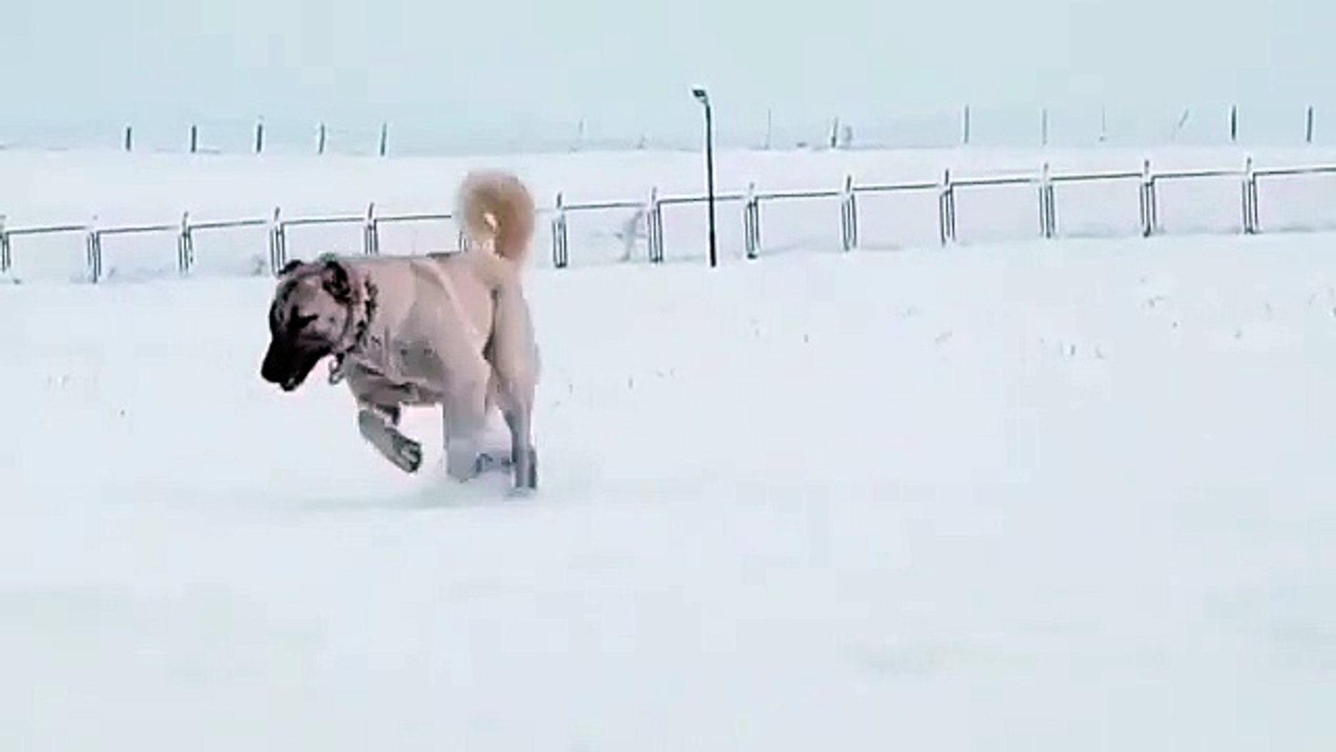 KANGAL COBAN KOPEGiNiN KAR ASKI - KANGAL SHEPHERD DOG LOVE SNOW