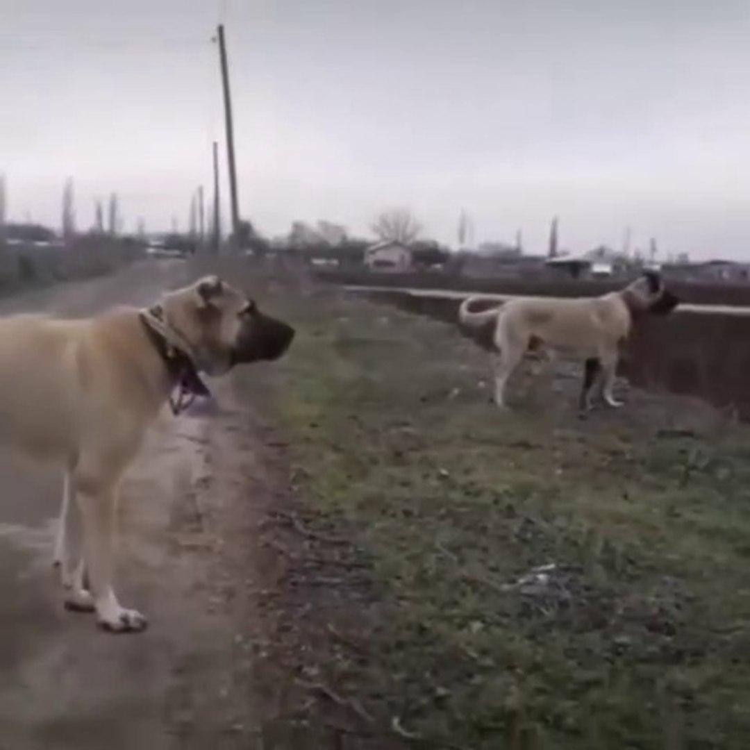 ANADOLU COBAN KOPEKLERi MERADA ASAYiS KONTROL - ANATOLiAN SHEPHERD DOGS