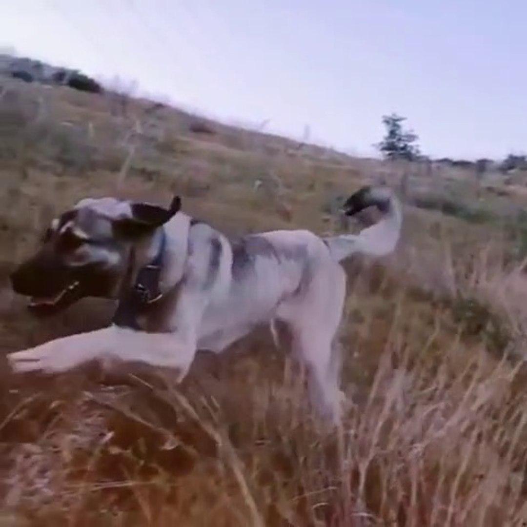 AGIR CEKiMDE ANADOLU COBAN KOPEGi - SLOW MOTiON ANATOLiAN SHEPHERD DOG