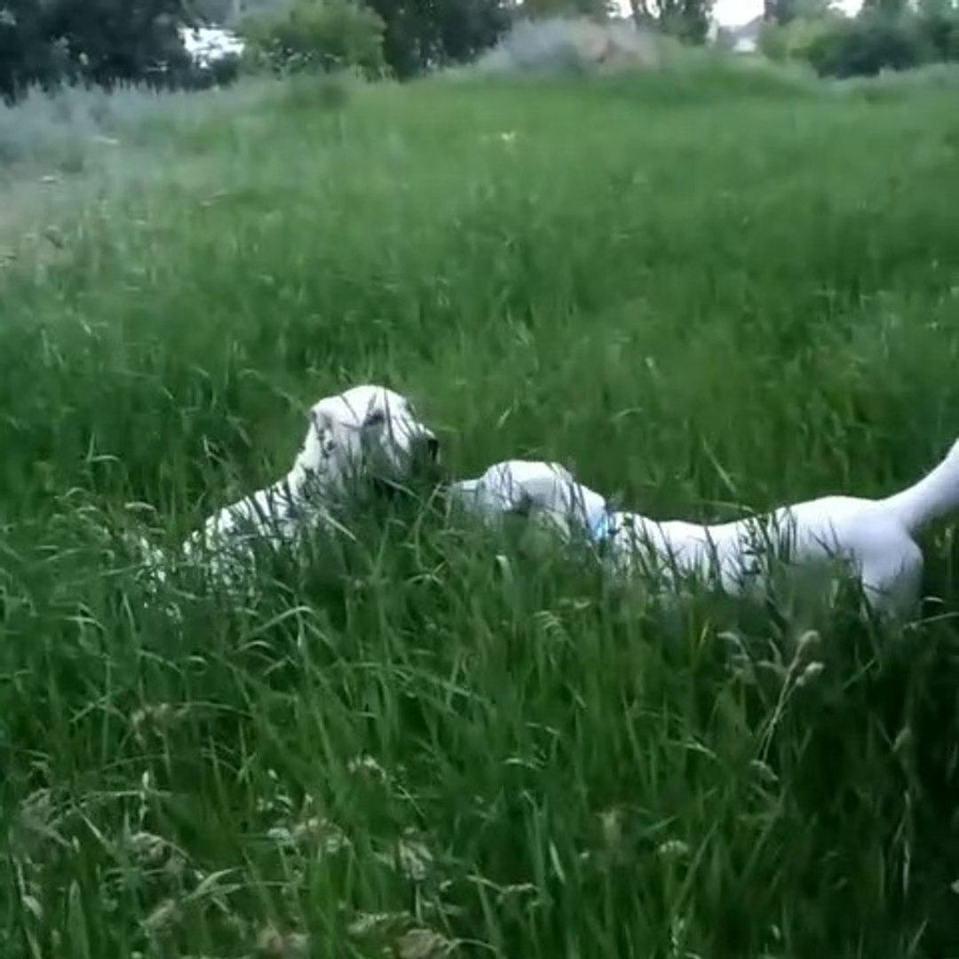 ALABAY COBAN KOPEGi YAVRULARI SABAH YURUYUSU - ALABAi SHEPHERD DOG PUPPEiES WALK MORNiNG