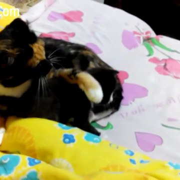 Mother Cats  taking care and Protecting their cute Kittens safety - Mom cat and Kitten