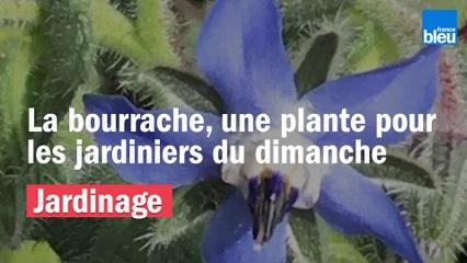 Roland Motte, jardinier : la bourrache, une plante pour les nuls