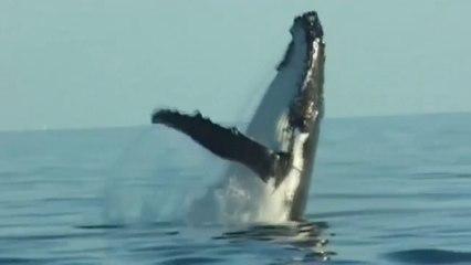 Le chant des baleines à bosse