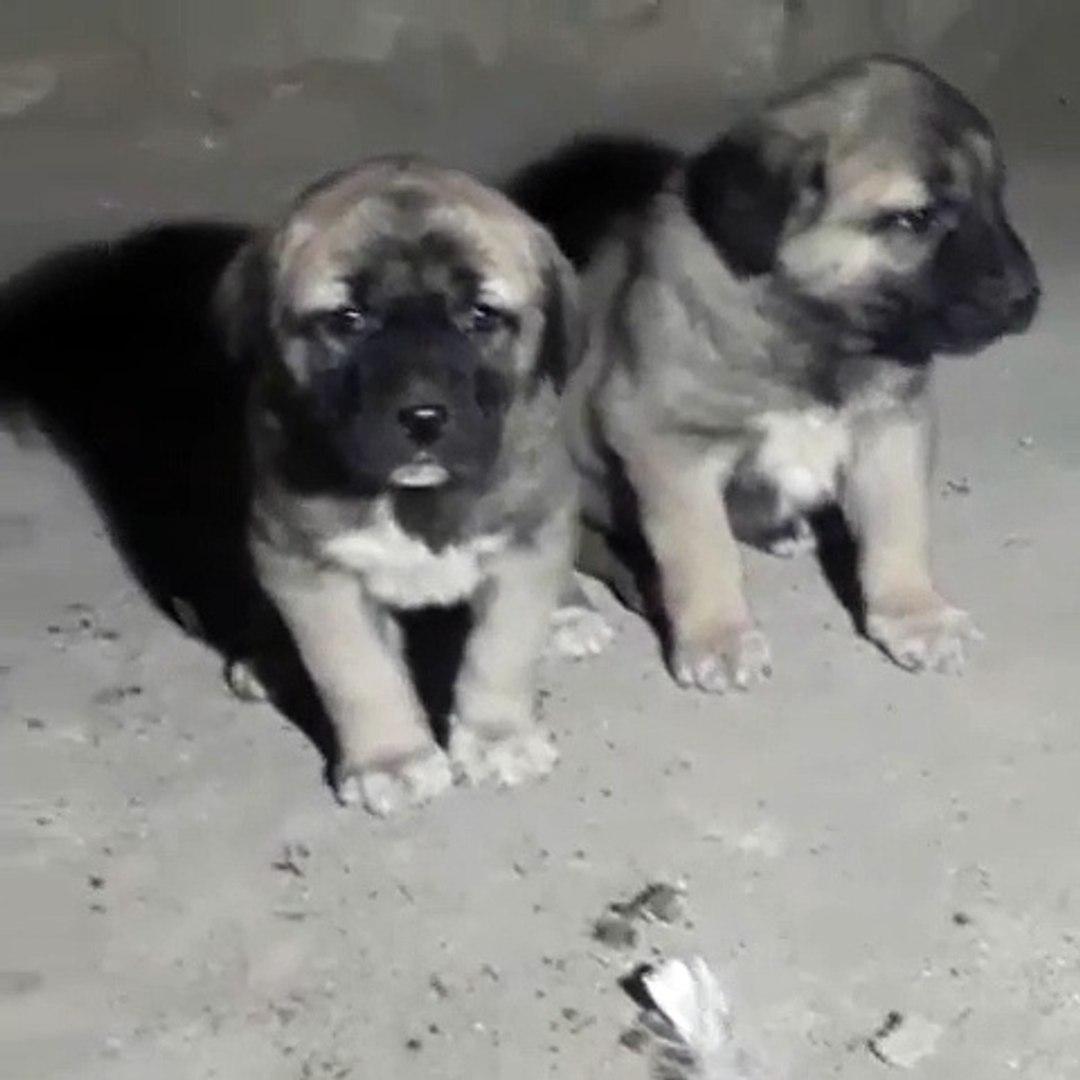 SEViMLi COBAN KOPEGi YAVRULARI - CUTE ANATOLiAN SHEPERD DOG PUPPiES