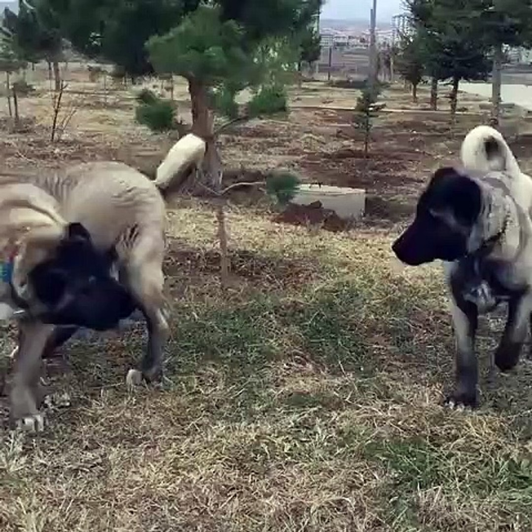 KARABAS KANGAL KOPEKLERi VS - BLACK HEAD KANGAL DOGS VS