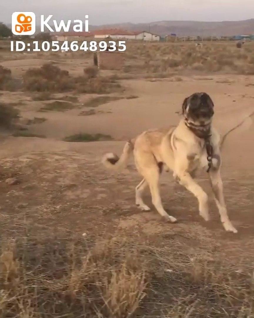 KARABAS COBAN KOPEGi HAZIR KITA - BLACK HEAD ANATOLiAN SHEPHERD DOG