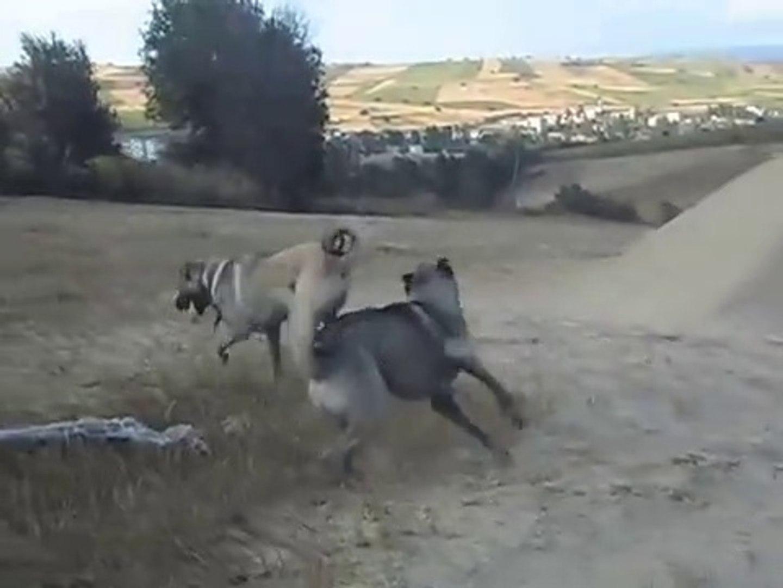 SiVAS KANGAL KOPEKLERi ve COBAN KOPEGi - KANGAL DOGS ans ANATOLiAN DOG