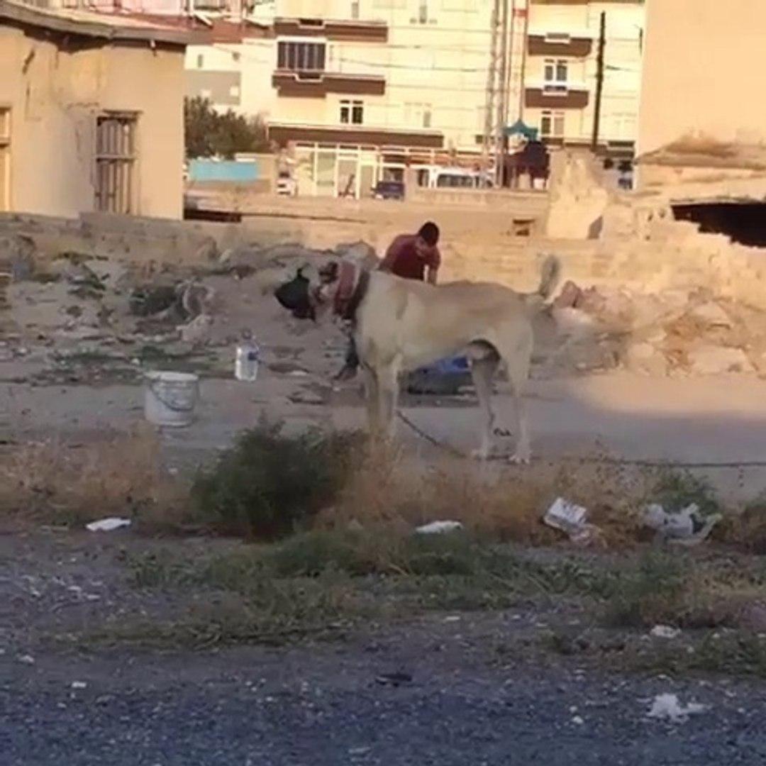 MAHALLEDE DEV BiR ANADOLU COBAN KOPEGi - GiANT ANATOLiAN SHEPHERD DOG