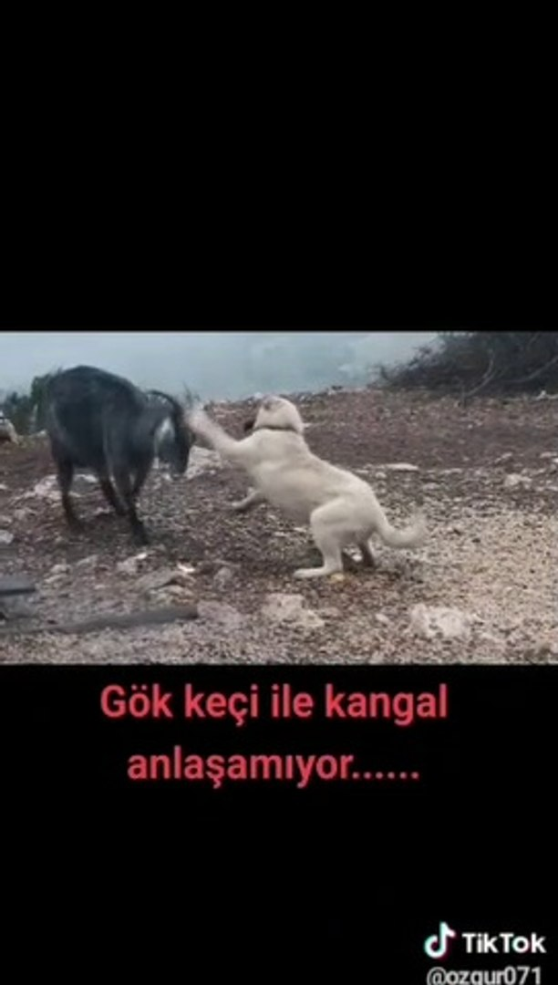 COBAN KOPEGi YAVRUSU VS KECi - SHEPHERD DOG PUPPY GOAT vs