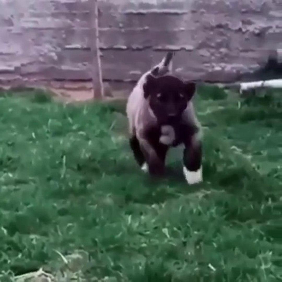 KARABAS ANADOLU COBAN KOPEGi YAVRUSU AGIR CEKiM - SHEPHERD DOG PUPPY SLOW MOTiON