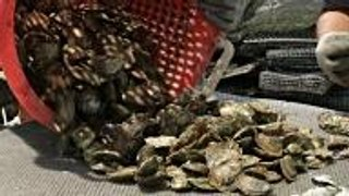Oyster Reef Restoration Efforts Could Use Your Help—And Your Oyster Shells