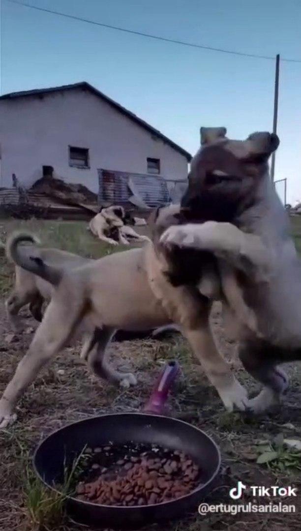 YAVRU COBAN KOPEKLERi MAMA YERKEN AZ KALDI BiRBiRLERiNi YiYECEKLERDi - ANATOLiAN SHEPHERD DOG PUPPiE