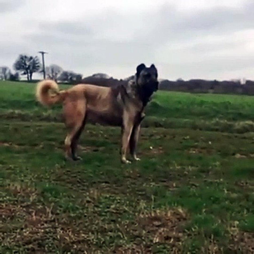 KARABAS ANADOLU COBAN KOPEGi - BLACK HEAD ANATOLiAN SHEPHERD DOG