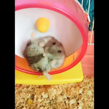 Funny and Cute Hamster Compilation  - Cutest Hamster In The World 2020 #3