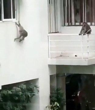 Havuz Partisi Veren Maymunlar