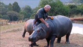 Belle amitié entre un homme et un hippopotame