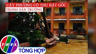 Cay phuong lon bat goc trong san truong o Dong Nai
