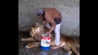 Son boulot : shampouineur de lion