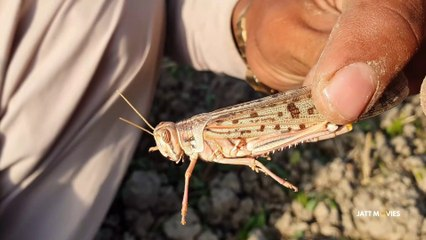 Worst Locusts Attack In Punjab Village After Many Years - Tiddi Dal In Punjab Village - Agriculture In Pakistan