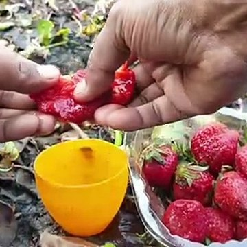Amazing Reaction Strawberry Juice and Fishing Oil-Catch Taki Fish-Spotted Snakehead in Secret Hole.