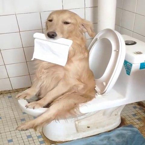 Funniest & Cutest Golden Retriever Puppies #13- Funny Puppy Videos 2020