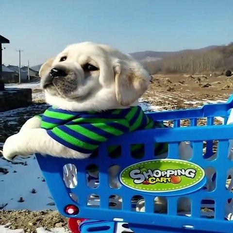 Funniest & Cutest Labrador Puppies #3 - Funny Puppy Videos 2020