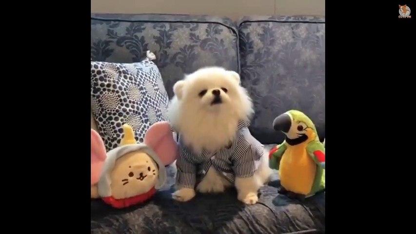 Mini Pomeranian - Funny and Cute Pomeranian Videos #5 - Cute animals