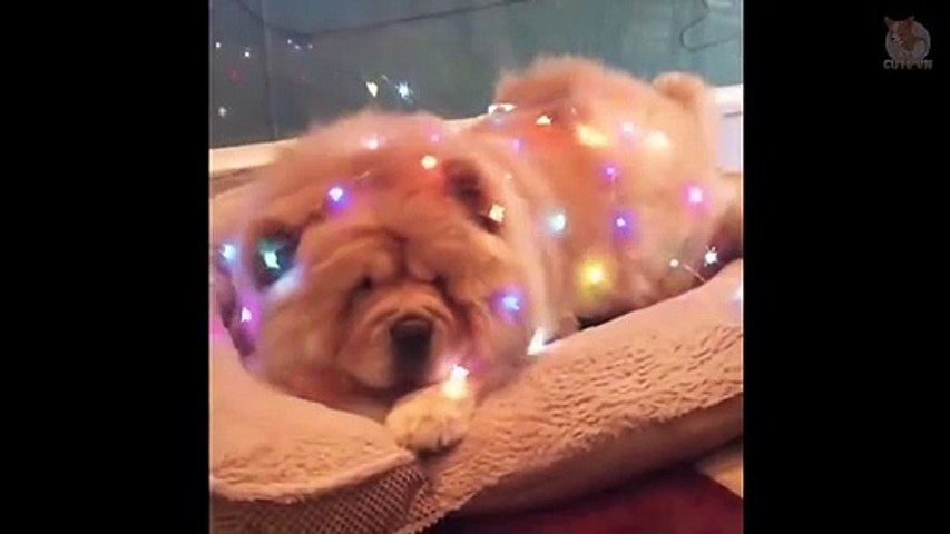 ChowChow - Cute and Funny Moments  - Cute anials