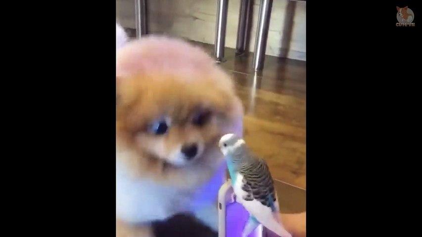 Mini Pomeranian - Funny and Cute Pomeranian Videos #2 - Cute animals